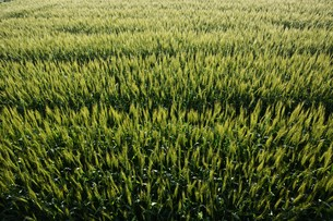 初夏の風に揺れる小麦の穂 / 九州福岡県朝倉市の写真素材 [FYI01196135]