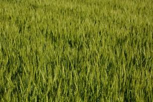 初夏の風に揺れる小麦の穂 / 九州福岡県朝倉市の写真素材 [FYI01196137]