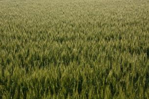 初夏の風に揺れる小麦の穂 / 九州福岡県朝倉市の写真素材 [FYI01196138]