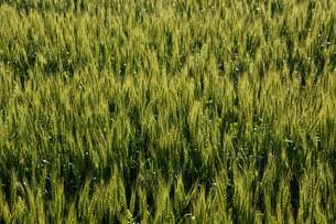 初夏の風に揺れる小麦の穂 / 九州福岡県朝倉市の写真素材 [FYI01196139]
