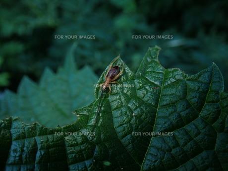 アオマツムシの幼虫の写真素材 [FYI01196148]