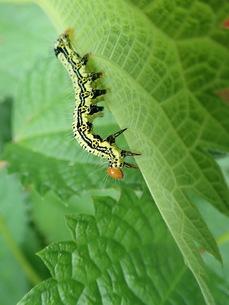 フクラスズメの幼虫の写真素材 [FYI01196278]