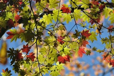 紅葉の写真素材 [FYI01196289]