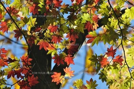 紅葉の写真素材 [FYI01196290]