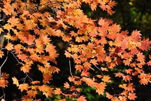 イロハモミジ秋色の写真素材 [FYI01196296]