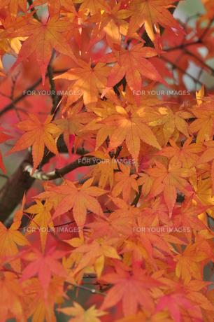 イロハモミジ赤く染まるの写真素材 [FYI01196360]