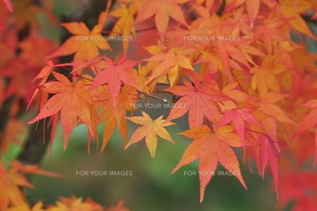 イロハモミジ赤く染まるの写真素材 [FYI01196361]