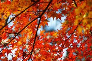 季節の背景素材・紅葉の季節 / 九州福岡県朝倉市 の写真素材 [FYI01196546]