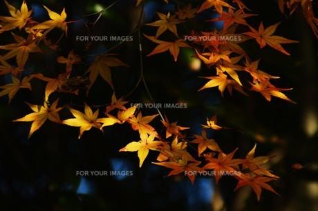 季節の背景素材・紅葉の季節 / 九州福岡県朝倉市 の写真素材 [FYI01196547]