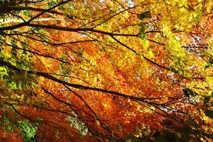 季節の背景素材・紅葉の季節 / 九州福岡県朝倉市 の写真素材 [FYI01196548]
