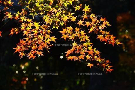 季節の背景素材・紅葉の季節 / 九州福岡県朝倉市 の写真素材 [FYI01196551]