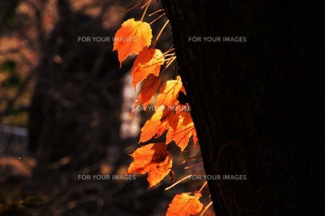 季節の背景素材・紅葉の季節 / 九州福岡県朝倉市 の写真素材 [FYI01196554]