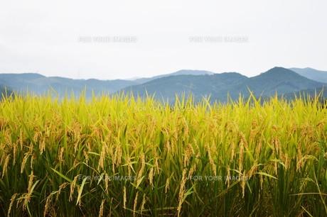 実りの季節・田園の秋 / 九州福岡県朝倉市の写真素材 [FYI01196599]