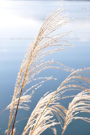 湖畔の芒の写真素材 [FYI01196818]
