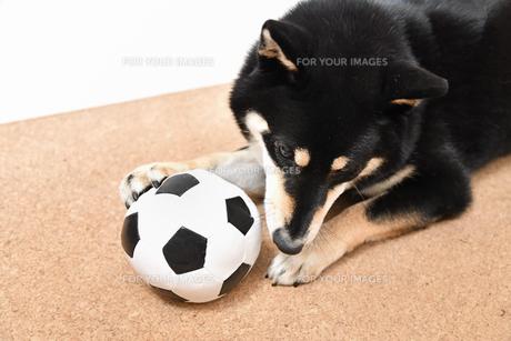 ベルを鳴らす柴犬の写真素材 [FYI01196840]