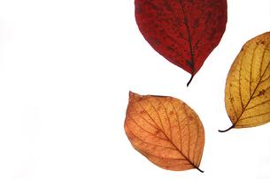 紅葉した落ち葉の写真素材 [FYI01196922]