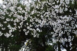 日本の風景・春爛漫 花吹雪 / 九州福岡県朝倉市の写真素材 [FYI01197071]