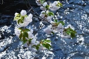 日本の風景・ぼんぼりと八重桜 / 九州大分県日田市 中野川沿い の写真素材 [FYI01197080]