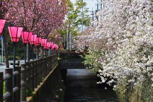 日本の風景・ぼんぼりと八重桜 / 九州大分県日田市 中野川沿い の写真素材 [FYI01197081]
