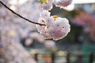 日本の風景・ぼんぼりと八重桜 / 九州大分県日田市 中野川沿い の写真素材 [FYI01197085]