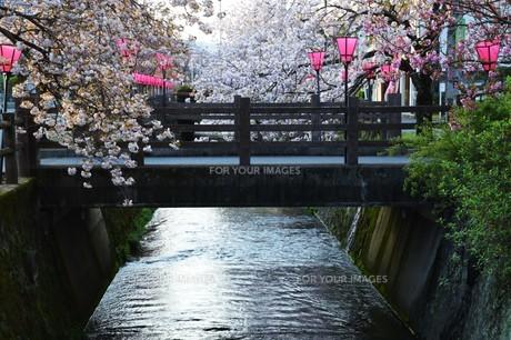 日本の風景・ぼんぼりと八重桜 / 九州大分県日田市 中野川沿い の写真素材 [FYI01197087]
