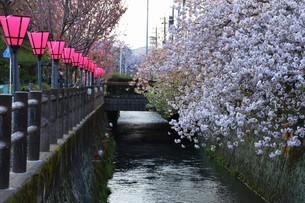日本の風景・ぼんぼりと八重桜 / 九州大分県日田市 中野川沿い の写真素材 [FYI01197088]