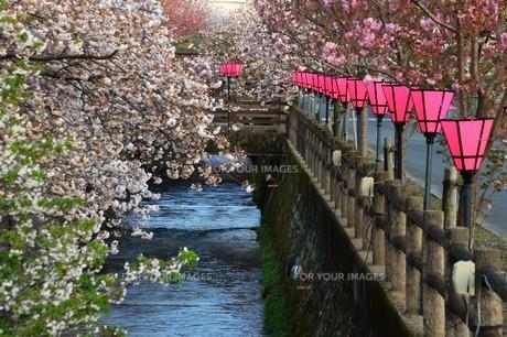 日本の風景・ぼんぼりと八重桜 / 九州大分県日田市 中野川沿い の写真素材 [FYI01197089]