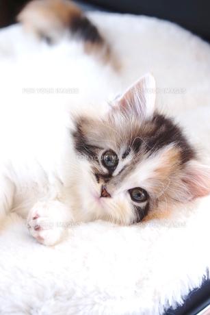 スコティッシュフォールドの子猫の写真素材 [FYI01197118]