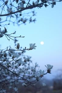 辛夷の花と朧月の写真素材 [FYI01197197]