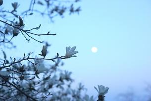 辛夷の花と朧月の写真素材 [FYI01197198]