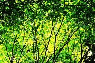 季節の背景素材・初夏を彩る新緑の写真素材 [FYI01197274]