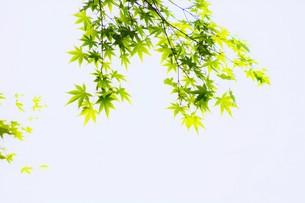 季節の背景素材・初夏を彩る新緑の写真素材 [FYI01197275]