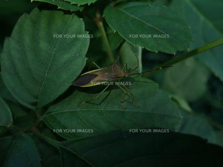 ミナミトゲヘリカメムシの写真素材 [FYI01197290]