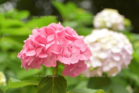 ピンクの紫陽花の写真素材 [FYI01197336]