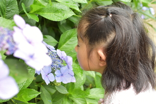 紫陽花と女の子の写真素材 [FYI01197341]