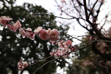 梅の写真素材 [FYI01197425]