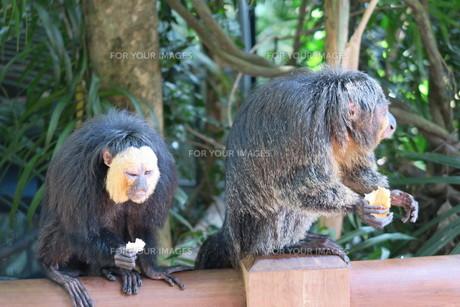 二匹の猿の写真素材 [FYI01197427]