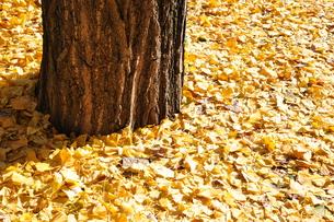 銀杏の落葉の写真素材 [FYI01197551]