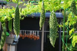 緑のカーテン・健康野菜 ゴーヤの写真素材 [FYI01197662]