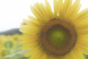 ひまわり×ミツバチの写真素材 [FYI01197725]