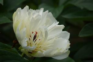 シャクヤク花香殿の写真素材 [FYI01197740]