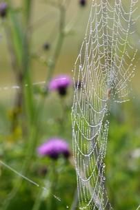 草むらのデザイナー・作品 「クモの網」の写真素材 [FYI01197801]