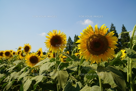 大輪の花びらの写真素材 [FYI01197837]