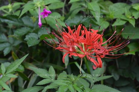 秋の花 ヒガンバナ / きれいな花には毒があり…の写真素材 [FYI01197851]
