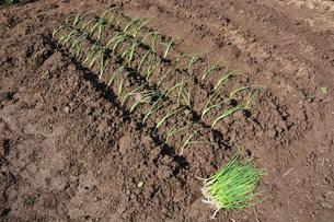 家庭菜園・タマネギの植え付けの写真素材 [FYI01197854]