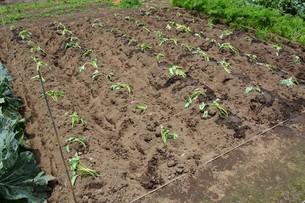 家庭菜園・サツマイモの植え付け / 九里四里うまい十三里の写真素材 [FYI01197857]