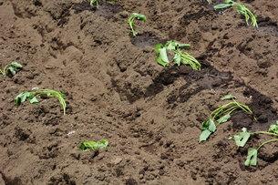 家庭菜園・サツマイモの植え付け / 九里四里うまい十三里の写真素材 [FYI01197858]
