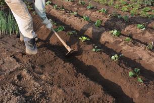 家庭菜園・サツマイモの植え付け / 九里四里うまい十三里の写真素材 [FYI01197859]