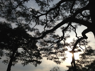 松のシルエット2の写真素材 [FYI01197986]