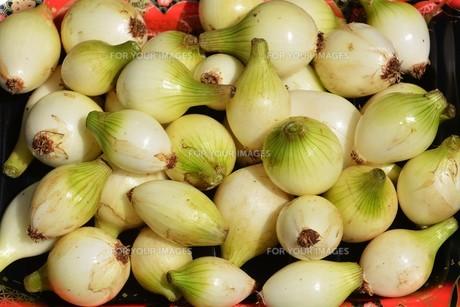 家庭菜園・タマネギの収穫の写真素材 [FYI01198024]